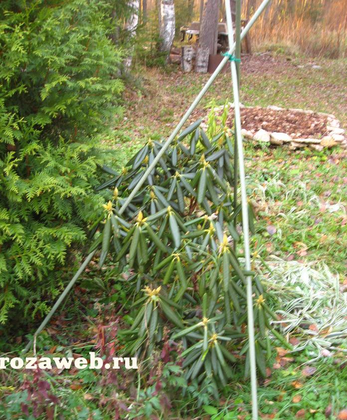 Рододендрон уход на зиму