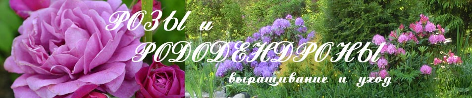 Розы и рододендроны выращивание и уход